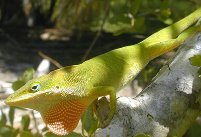 A male native green anole showing off his dewlap. Photo courtesy of Dr. Steve A. Johnson, UF/IFAS