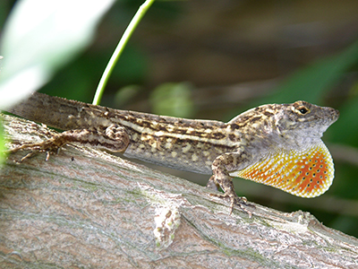 A male Cuban brown anole showing off his dewlap. Photo courtesy of Dr. Steve A. Johnson, UF/IFAS.