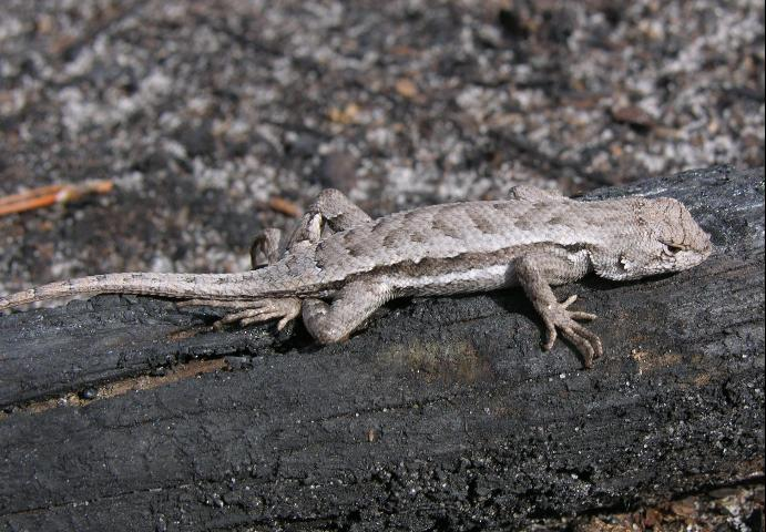 Florida scrub lizard, 3.5 to 5.5 inches. Credit: Steve Johnson.